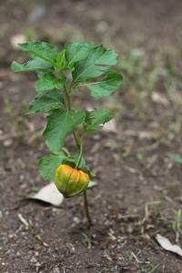 Eine kleine, wildwachsende, Hozuki-Pflanze.